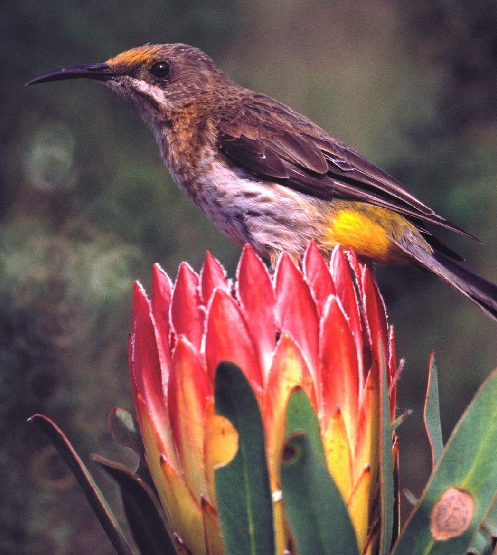 Protea and Cape Sugarbird