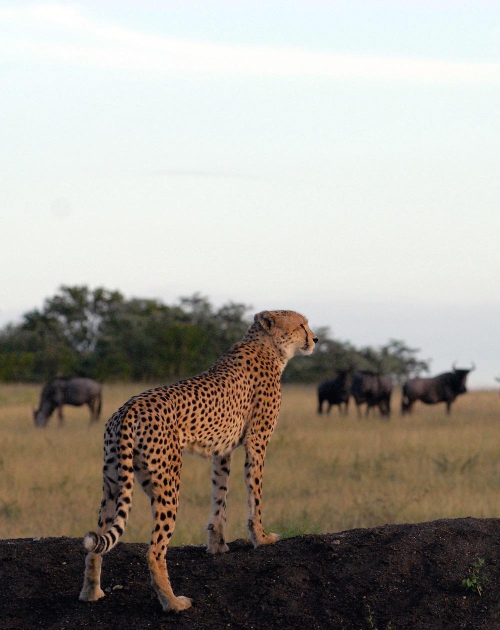 Cheetah Wildebeest Greater Kruger Wilderness